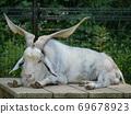 我在福知山动物园看到的白耳朵山羊到户外放松 69678923