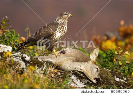 Common buzzard standing on dead prey in autumn mountains. 69690369