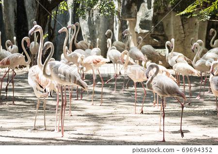 Group Flamingo bird standing at Bangkok Thailand. 69694352
