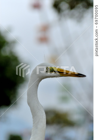 Close-up of the profile of the Great Egret walking in the park with the Ferris wheel in the background 69700095