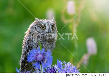 Portrait of otus scops standing in the meadow closeup. 69701717