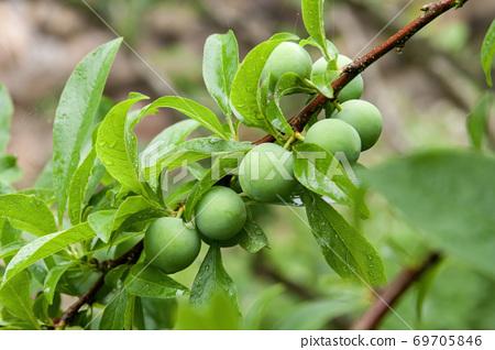 果園裡長滿了新鮮翠綠色的梅子特寫 69705846