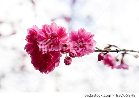 大自然美丽的粉色梅花 69705848