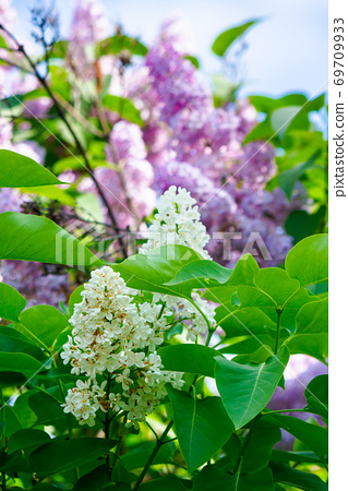lilac blossom. beautiful scenery in the garden. sunny nature background in springtime 69709933