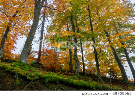 beech trees in colorful foliage. misty forest scenery. colorful foliage. nature background 69709969