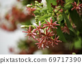 white pink red Flower blurred of nature background. Quisqualis indica or Chinese honey Suckle flower on tree. Rangoon creeper, colorful red pink tiny tropical fragrant flowers in the garden. 69717390