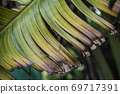 Close up texture of dark yellow Banana Leaf. Broken banana leaves. Abstract striped natural background, Details of Expired banana leaves. 69717391