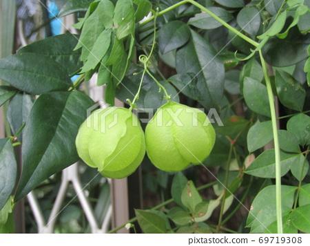 像Hozuki這樣的綠色水果是果蠅的未成熟果實 69719308