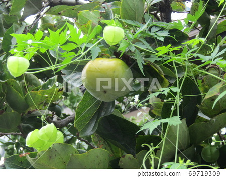 Balloon vine that has grown to the fruit of the persimmon that has begun to ripen 69719309