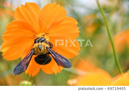 황화 코스모스의 꿀을 빨아 키무네쿠마바찌 69719405