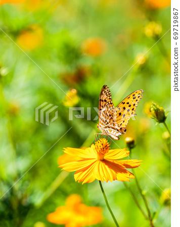 橙色Kibana波斯菊和橙色Tsumaguro豹蝴蝶 69719867