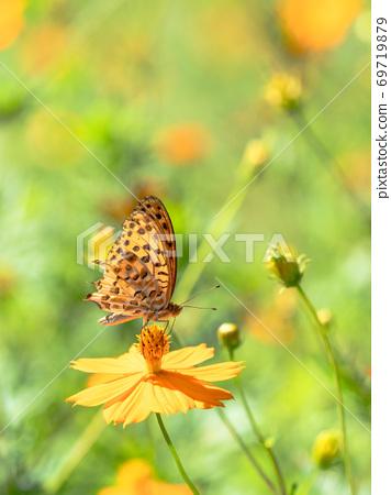 橙色Kibana波斯菊和橙色Tsumaguro豹蝴蝶 69719879