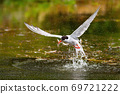Common tern catching a fish in water in springtime. 69721222