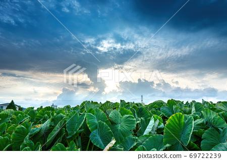 黃昏中的雲彩呈現農田裡整片的芋頭葉 69722239