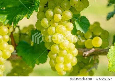 白葡萄酒葡萄果實 69723157