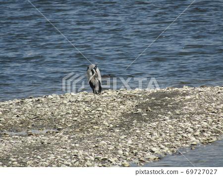 Gray heron standing on one foot in Nakasu, Yatsu Tidal Flat 69727027