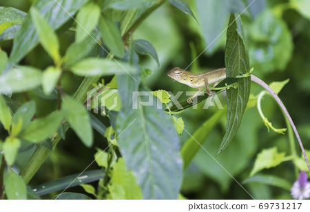 A chameleon perched on a tree in the forest. 69731217