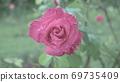 雨中的玫瑰 69735409
