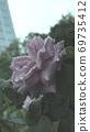 雨中的玫瑰 69735412