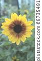在雨中湿的向日葵 69735491
