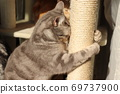 American Shorthair Blue Tabby, a cat that loves to sharpen its claws and hugs it 69737900
