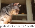 American Shorthair Blue Tabby, a beautiful cat looking down with a serious look 69737902