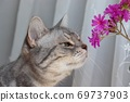 American shorthair blue tabby cat staring at pink flowers with a gentle expression 69737903