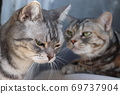 American Shorthair Blue Tabby Silver Patched Tabby for Cats Depressed and Worried 69737904