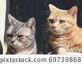 American Shorthair Blue Tabby Red Tabby Two Beautiful Cats Looking Left 69739868