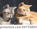 American Shorthair Blue Tabby Red Tabby Two Beautiful Cats Looking Down Right 69739869