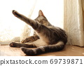 American shorthair blue tabby cat doing yoga in front of lace curtains 69739871