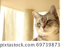 American shorthair blue tabby cat staring gently in the sun with green eyes 69739873