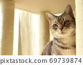 Beautiful cat American Shorthair Blue Tabby relaxing in the cat tower by the window 69739874
