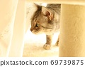 American Shorthair Blue Tabby, a cat hiding behind a lace curtain 69739875