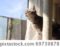 American shorthair blue tabby cat looking up at the sky by the window 69739878