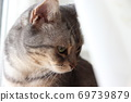 Beautiful cat American Shorthair Blue Tabby wrapped in the wind next to the curtain lace 69739879