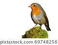 Little european robin sitting on moss isolated on white background. 69748256