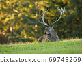Tired red deer stag lying on meadow in summertime nature. 69748269