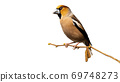Male hawfinch sitting on branch isolated on white background. 69748273