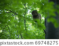 Tawny owl sitting on branch in forest in summer. 69748275