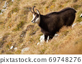 Tatra chamois standing on a meadow in autumn mountains. 69748276
