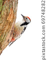 Middle spotted woodpecker sitting on tree cut out on blank. 69748282