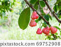 rose apple on the tree in the garden,thailand 69752908