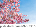 pink trumpet tree or Tabebuia rosea; fresh pink 69752915