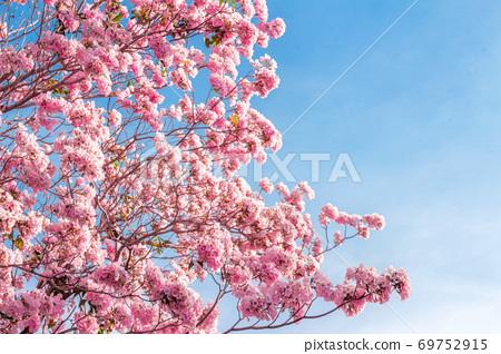 pink trumpet tree or Tabebuia rosea; fresh pink 69752915