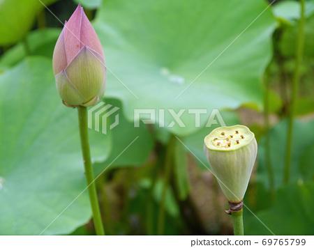 在三重县的一座寺庙中精心培育的莲花芽和花朵 69765799