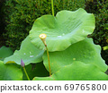 荷叶和花朵在雨天聚集水滴 69765800