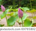 寺庙花园里的莲花芽 69765802