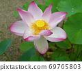 在三重县的一座寺庙中看到美丽对比的莲花 69765803