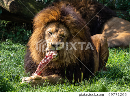 The lion, Panthera leo is one of the four big cats in the genus Panthera 69771266